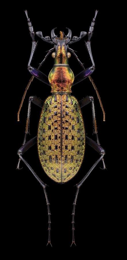 Nangnimicola del leechi de Acoptolabrus del escarabajo fotos de archivo