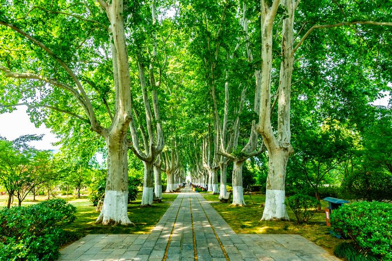 China Nanjing Ming Xiaoling Mausoleum 12. Nanjing Ming Xiaoling Mausoleum Elephant Road Spirit Way Side Road with Picturesque Trees stock images