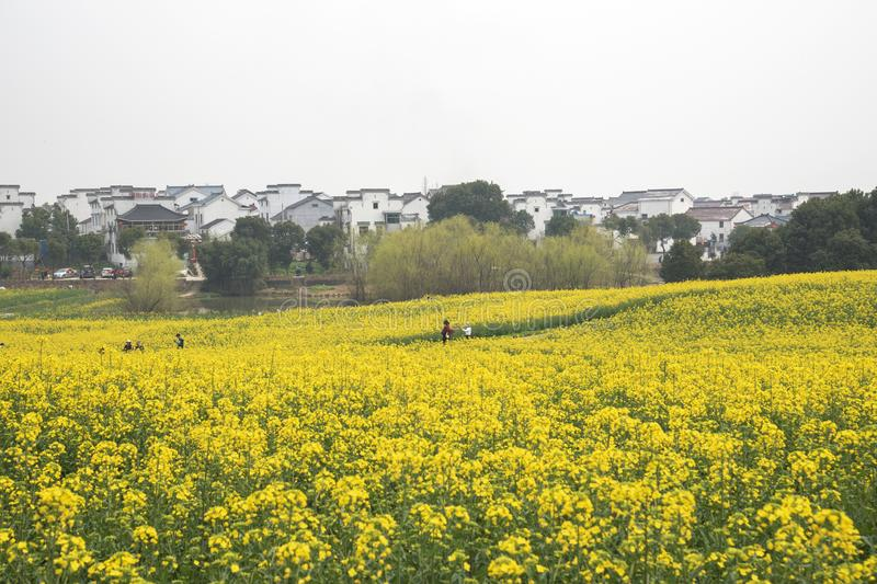 Nanjing yaxi international slow city canola pastoral scenery agricultural. Rape flowers planted by yaxi international slow city, gaochun district, nanjing stock images