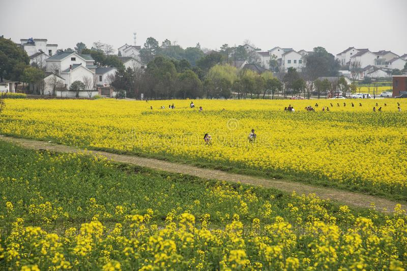 Nanjing yaxi international slow city canola pastoral scenery agricultural. Rape flowers planted by yaxi international slow city, gaochun district, nanjing royalty free stock photo
