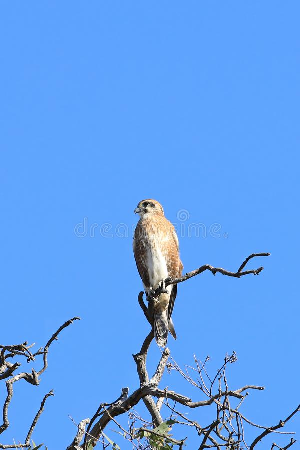 Nankeen Kestrel, Falco cenchroides, perched in tree stock images