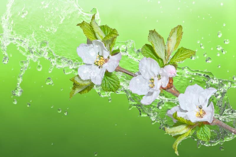 nanking cherry stock image