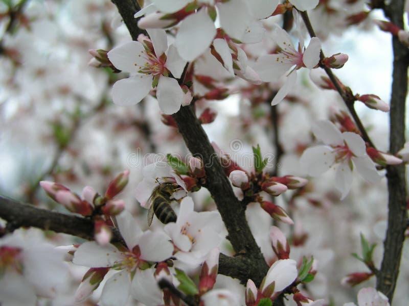 Nanking Prunus czereśniowy tomentosa, Koreańska wiśnia, Manchu wiśnia, puchata wiśnia, Chińska wiśnia, Chińska wiśnia, Chińska wi fotografia stock