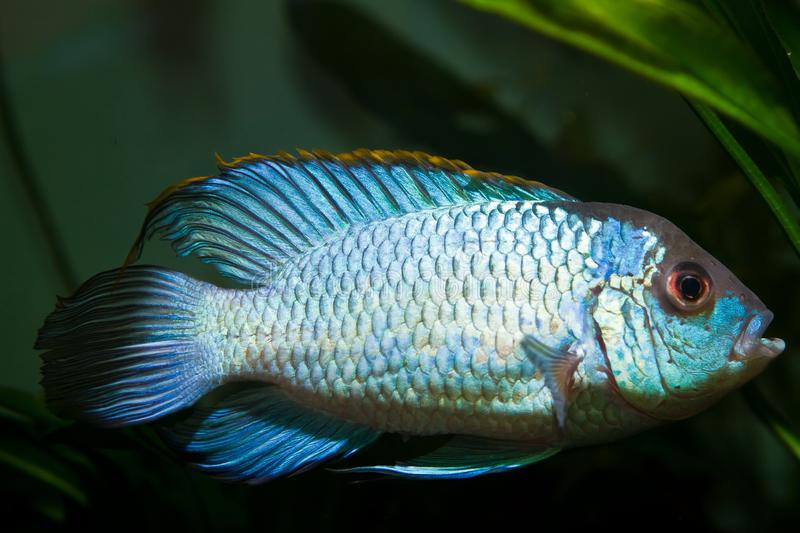 Nannacara anomala neon blue, freshwater cichlid spectacular and colorful male fish, artificial breed in nature aquarium stock images