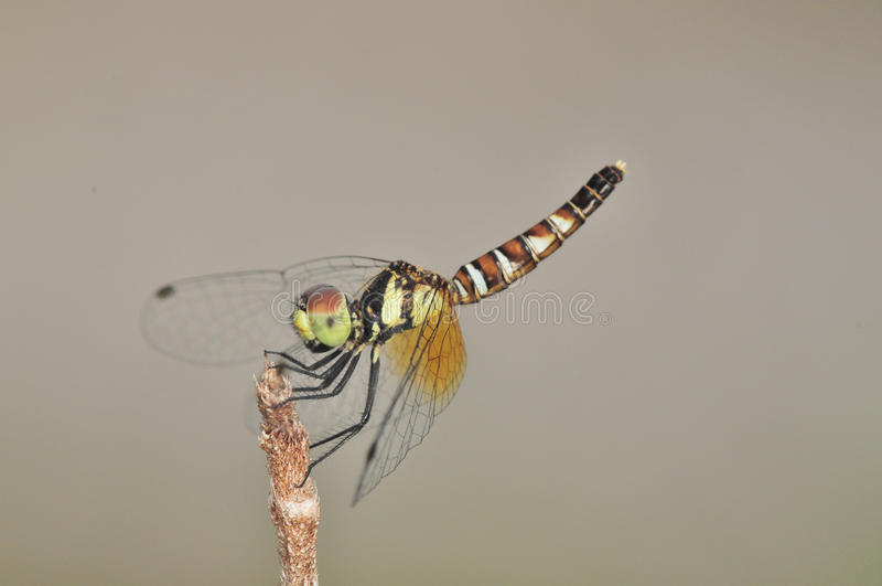 Download Nannophya Pygmaea Pygmy Dragonfly Stock Images - Image: 27232914