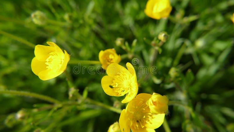 Nanunculus acris także znać jako łąkowy jaskier zdjęcia stock
