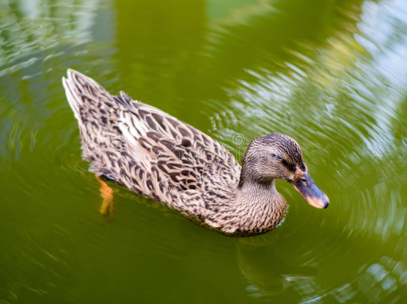 Nap de pato de Mallard enquanto flutua na água foto de stock royalty free