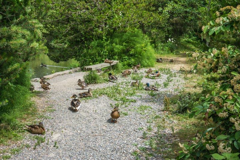 Nap Time For Ducks arkivfoton