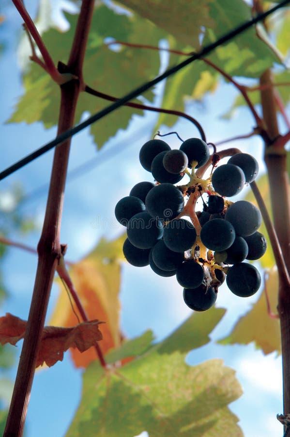 Napa grapes royalty free stock image
