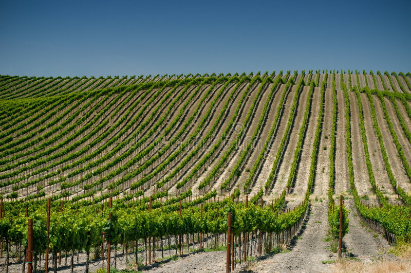 Napa Valley葡萄园,美国 免版税图库摄影