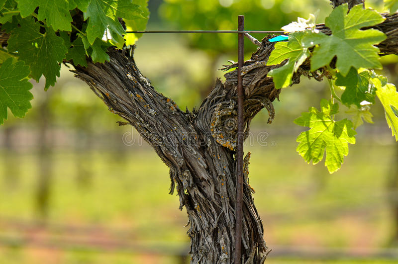 Napa Valley Grape Vine Closeup royalty free stock photo