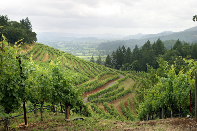Napa Valley vineyard. Lush Napa Valley vineyard landscape