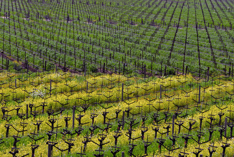 Download Napa Valley Vineyard stock photo. Image of mustard, grape - 25444308
