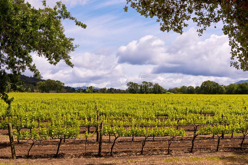 Napa Valley Vineyards, Spring, Mountains, Sky, Clouds, Hot Air Balloon stock image