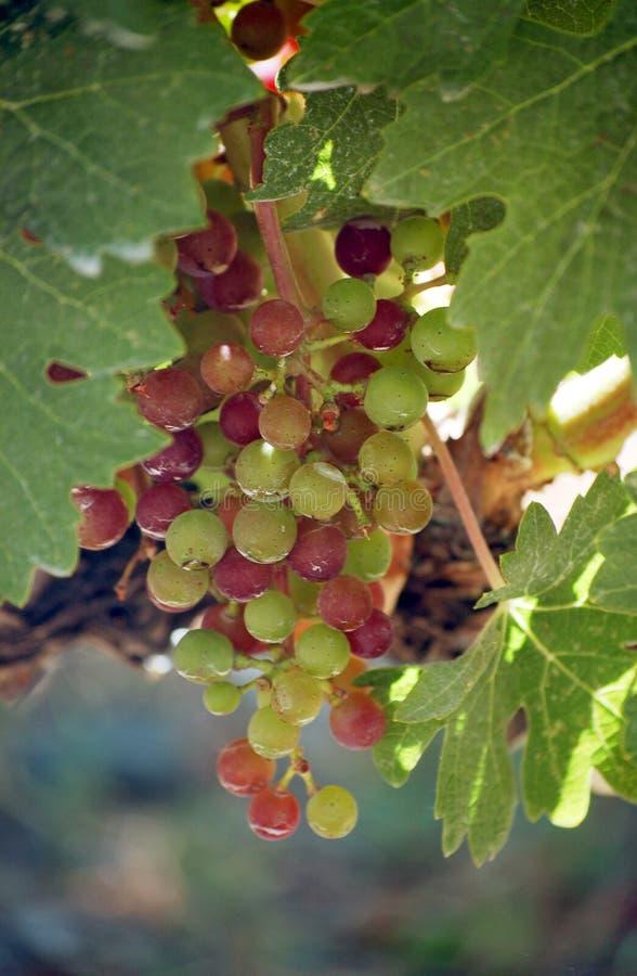 Napa Valley vingård arkivfoton