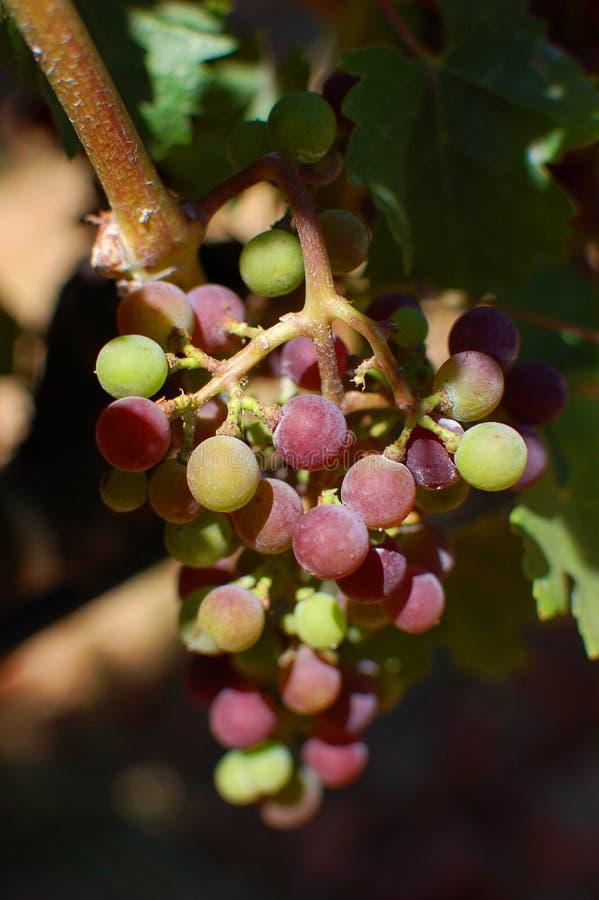 Napa Valley vingård arkivbilder
