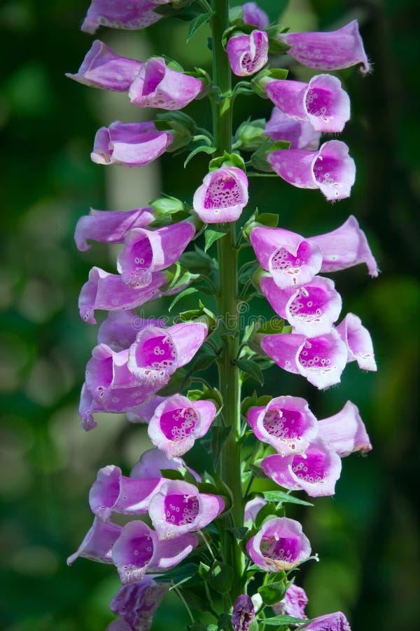 Naparstnica Dzwonkowy kwiat fotografia royalty free
