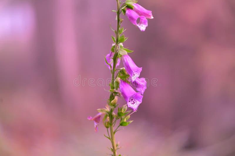 Naparstnica kwiat fotografia stock