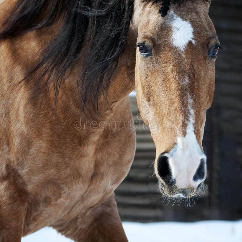 Napastuje lusitano portreta końskiego zbliżenie w zimie fotografia royalty free