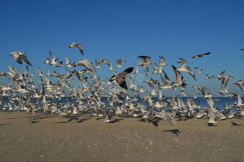Naples Florida Beach with a Group of Flying Gulls. Gulls flying above the shore of Naples Florida beach royalty free stock photography