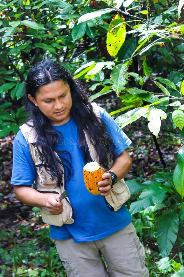 Native guide of Ecuador opening a cocoa stock photos