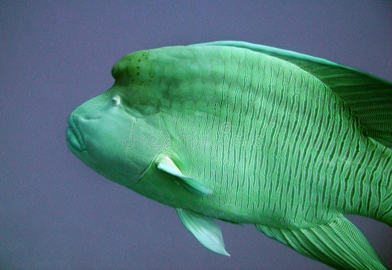 Napoleon Fish en mer images stock