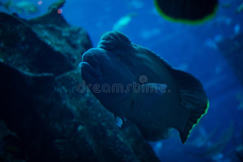 Napoleon Fish swimming at the Great Barrier Reef. Ocean life stock images