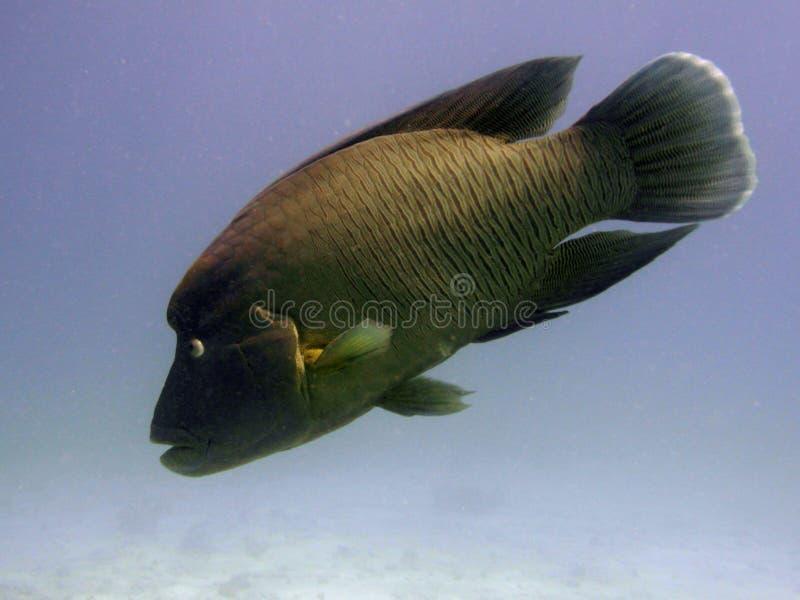 napoleon simningwrasse arkivfoto