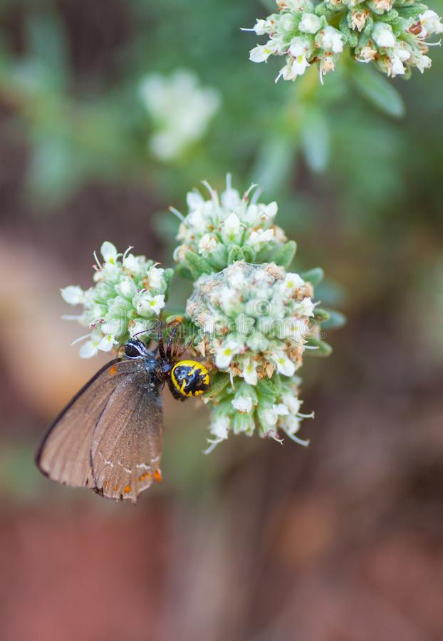 Napoleon Spider killing a Hairstreak Butterfly stock image