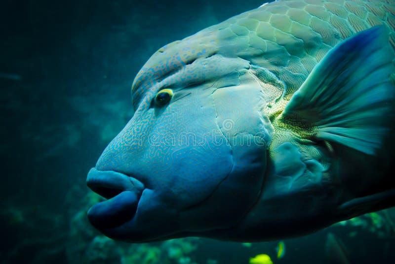 Napoleonvissen of dichte omhooggaand van Humphead wrasse royalty-vrije stock fotografie