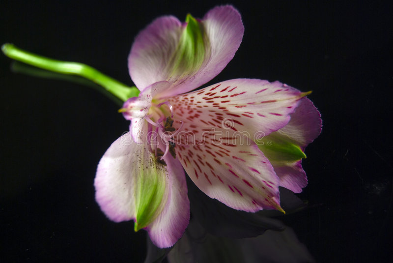 Napoli Magenta flower in bloom royalty free stock image