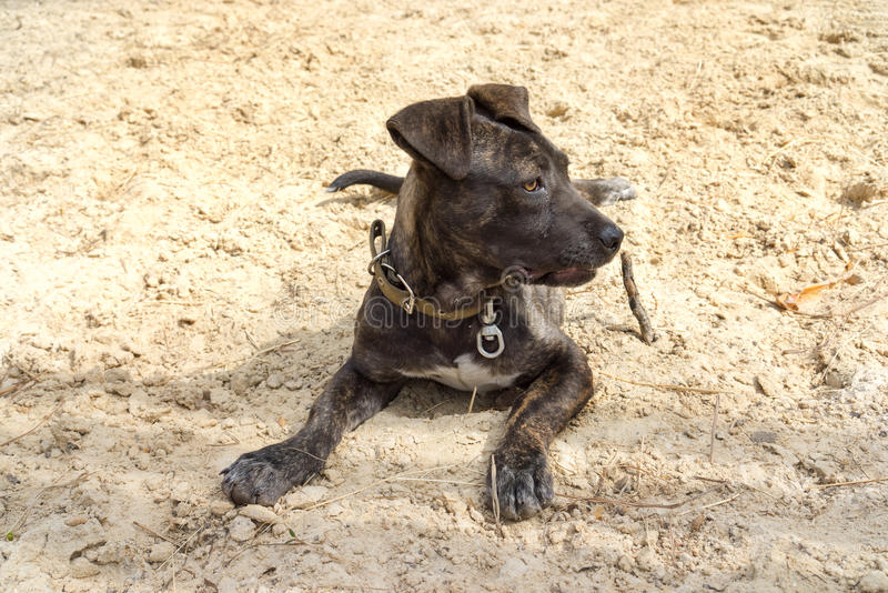 Napolitaanse Mastiff royalty-vrije stock fotografie