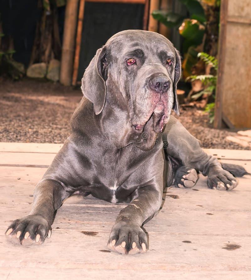 Napolitaanse Mastiff Volwassen Hond stock afbeeldingen
