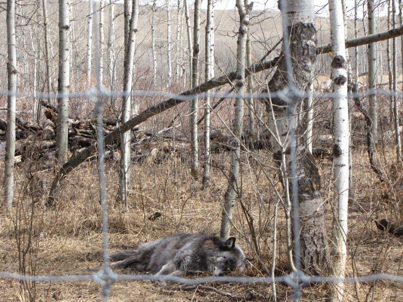 Napping волк стоковое изображение rf