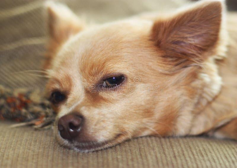Napping Chihuahua
