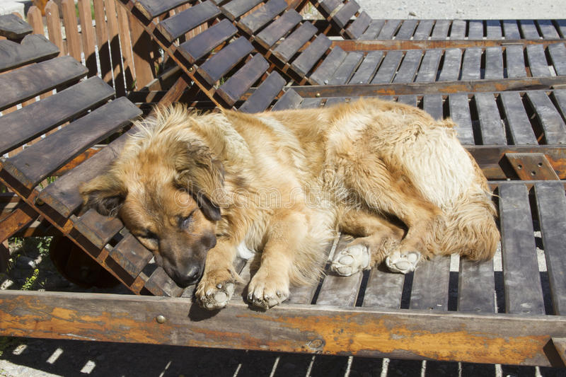 Napping dog. Large brown dog napping in sunshine on wooden chaise lounge chair outdoors royalty free stock photo