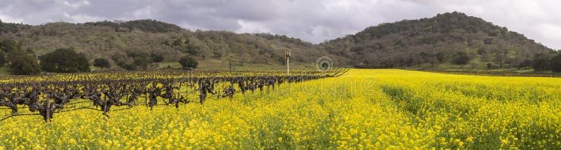Napy musztardy i winniców Dolinny Kwitnąć Panoramiczny zdjęcie stock