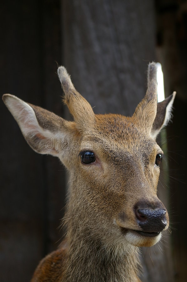 Download Nara Deer stock photo. Image of nose, buck, japan, trophy - 251688