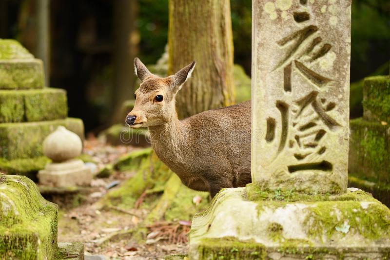 Nara Deer royalty free stock photography