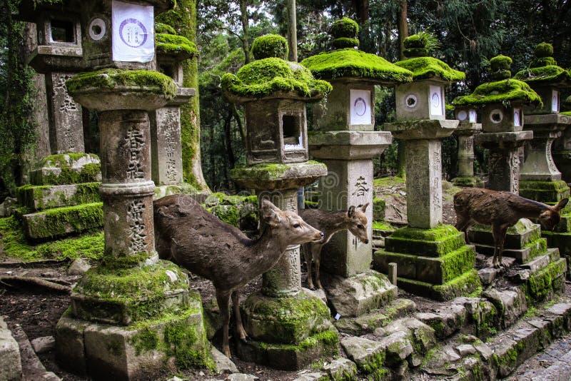 NARA, JAPÃO - 2 DE ABRIL DE 2019: Cervos novos e lanternas japonesas de pedra velhas no santuário grande de Kasuga, Nara, Japão fotografia de stock royalty free