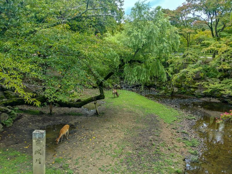 Nara deer roam free in Nara Park. stock photos