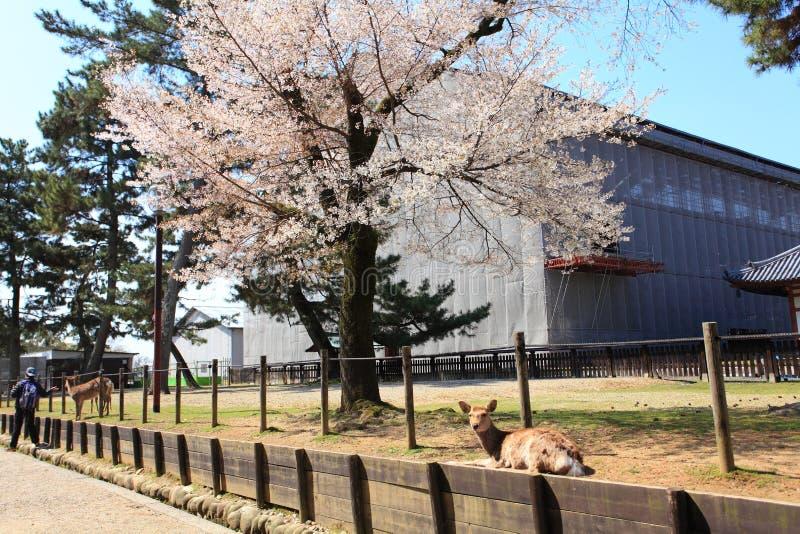 Nara Park, Giappone fotografie stock libere da diritti