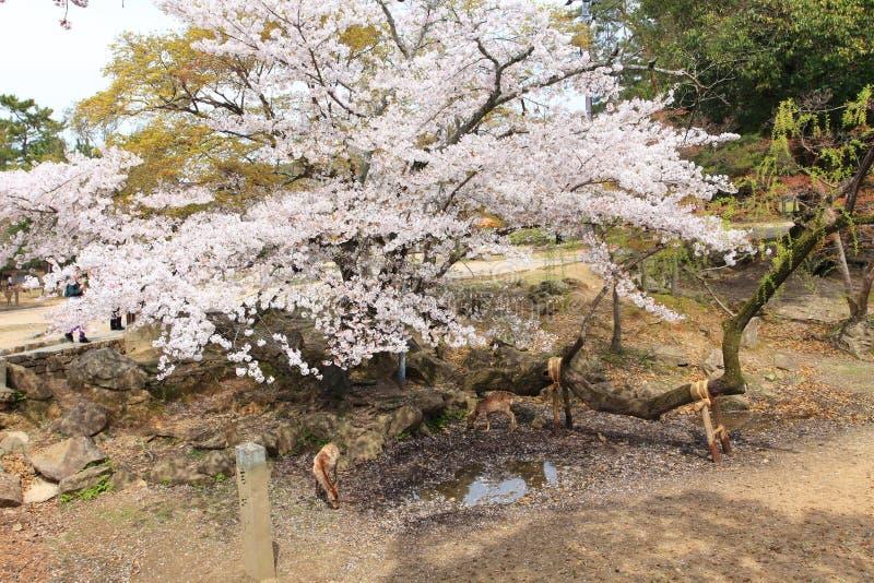 Nara Park,Japan royalty free stock photos