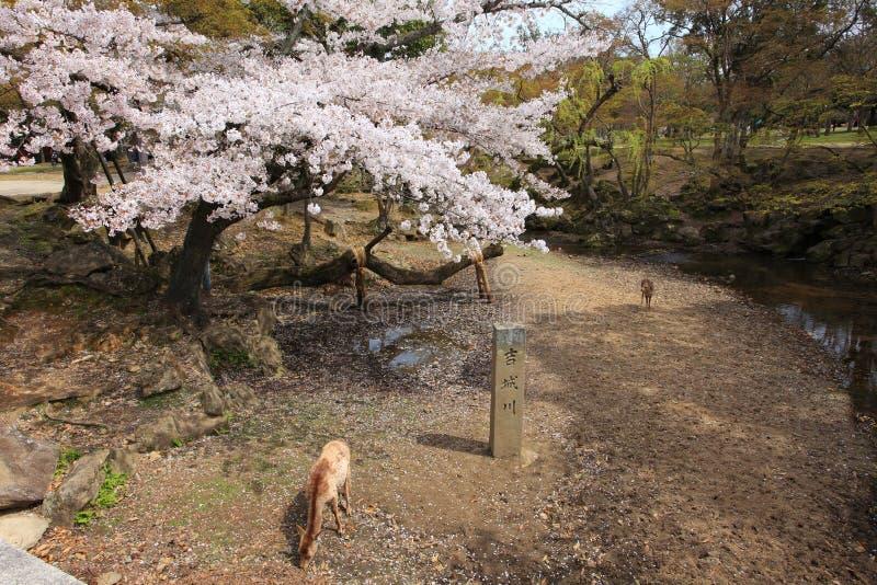 Nara Park,Japan royalty free stock photo