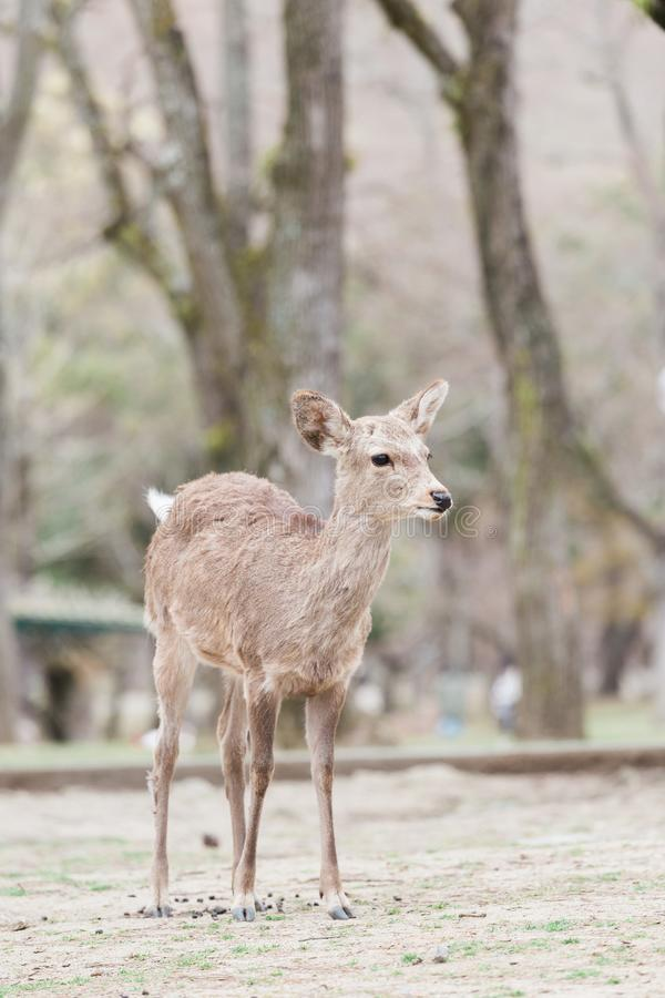 Nara sikahjortar parkerar in royaltyfri foto