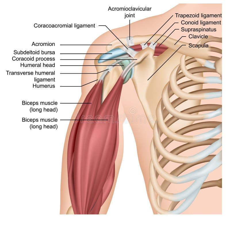 Naramienna anatomii 3d medyczna ilustracja z ręka mięśniami royalty ilustracja