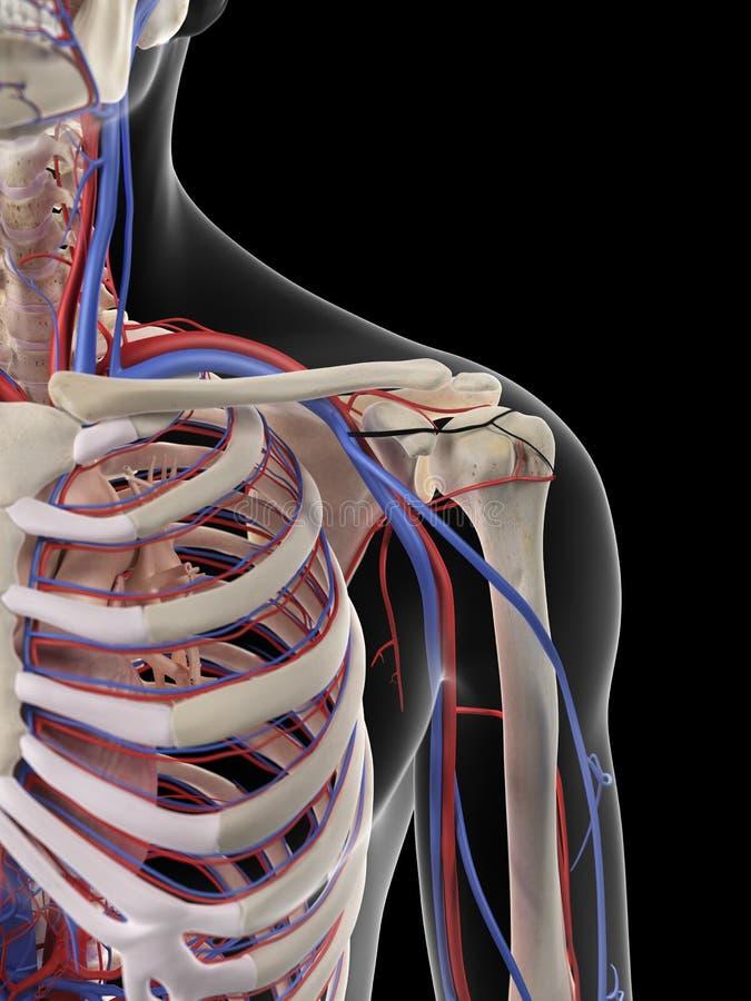 Naramienna krwionośna dostawa ilustracji