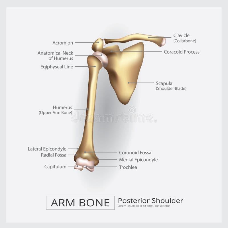 Naramienna ręki kość ilustracja wektor