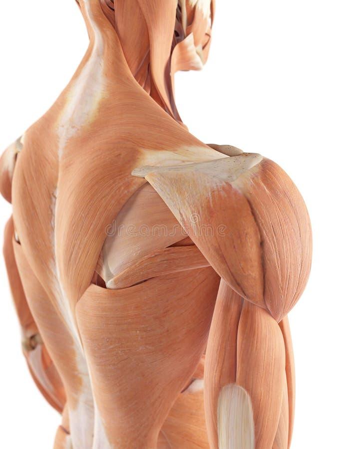 Naramienni mięśnie ilustracja wektor