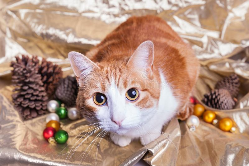Naranja con los ojos abiertos linda y pinecones y ornamentos blancos de las decoraciones de la Navidad del gatito del pelo corto foto de archivo libre de regalías